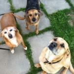 Les chiens, acteurs de la médiation animale